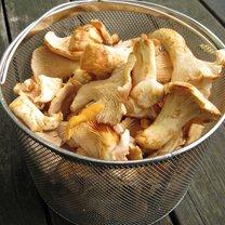 grzyby kurki