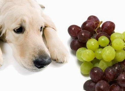 pies i winogrona