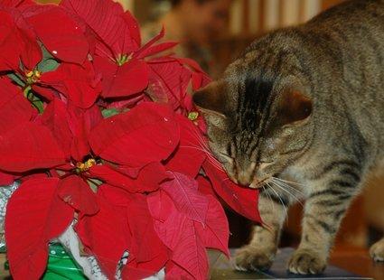 kot jedzący gwiazdę betlejemską
