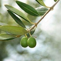sposoby na grzybicę - liść oliwny