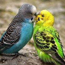 hodowla papużek falistych