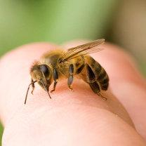 ukąszenie pszczoły