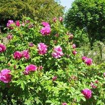 róże japońskie