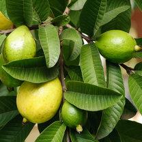 liście guajawy