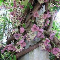 kwiaty akebii