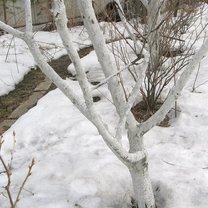 drzewa bielone