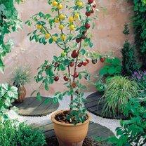 mini drzewko owocowe