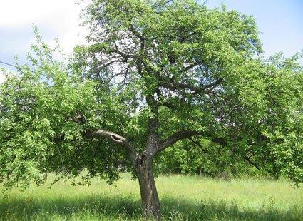 drzewo owocowe