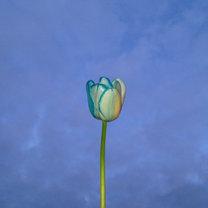 farbowany tulipan