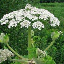barszcz sosnkowskiego - kwiatostan