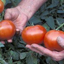 uprawianie pomidorów