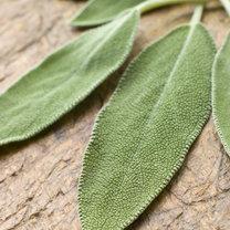 liście szałwii
