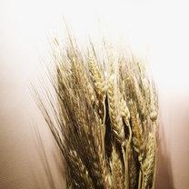 10 najbardziej szkodliwych zbóż na świecie