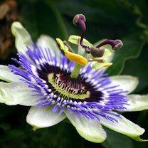 Kwiat męczennicy