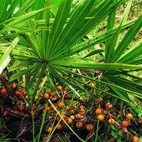 Właściwości palmy sabałowej