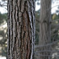 Wyciąg z kory sosny na hemoroidy