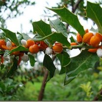 Zdrowotne drzewko Espinheira Santa