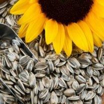 Nasiona słonecznika w zamrażarce