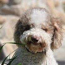 Ile żyje pies Lagotto Romagnolo