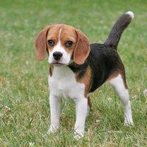 Ile lat żyje Beagle