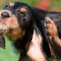 Świerzb u psa pielęgnacja