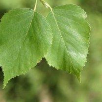 liście brzozy