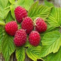 liście malin herbata