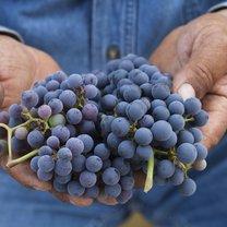 winogrona na odporność