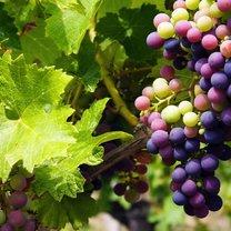 winogrona na nowotwór