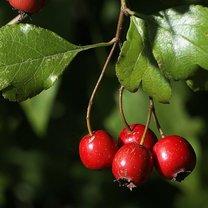Lecznicze działanie owoców głogu krok 1