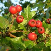 Lecznicze działanie owoców głogu
