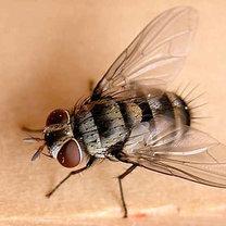 pułapka na muchy