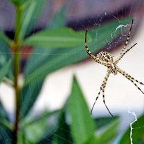 pająki odstraszanie