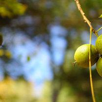 liście orzecha nalewka