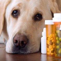 podawanie leków psu
