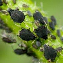 Domowy preparat owadobójczy