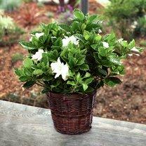 gardenia w doniczce