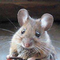 jak odstraszyć myszy