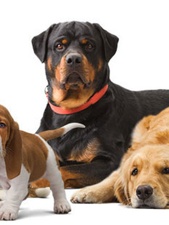 Nowość 15 najdłużej żyjących ras psów - porada Tipy.pl SO72