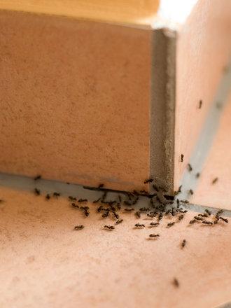 mrowki w domu