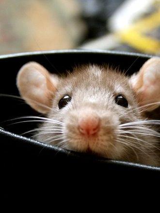 myszy odstraszanie
