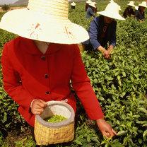 zbieranie herbaty