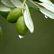 ekstrakt z liści oliwnych