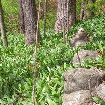 czosnek niedzwiedzi w lesie