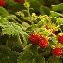 Poziomka to niewielki owoc, który jest bardzo smaczny i pożyteczny. To jeden z 400 gatunków tego rodzaju...