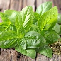 Bazylia pospolita (Ocimum basilicum), znana też jako ziele świętego Józefa, to roślina należąca...