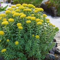 Różeniec górski zyskał ogromną popularność przede wszystkim ze względu na niezwykle korzystny...