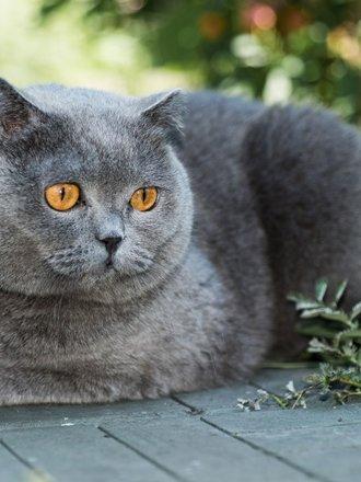 Kot Brytyjski Co Warto Wiedzieć Porada Tipypl