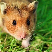 Mimo że chomiki to małe i słodkie zwierzęta, to większość z nich wymaga dużej cierpliwości i...