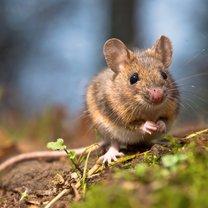 Myszy, który wyjątkowo chętnie zakładają sobie gniazdka w naszych domach i mieszkaniach, to niemały...
